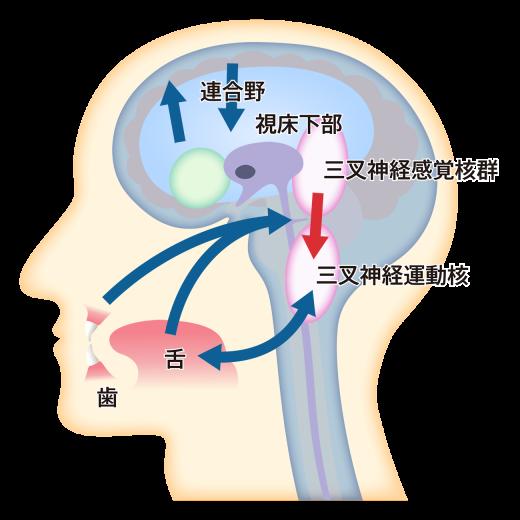 痛みを感じる脳の部位、イラスト解説